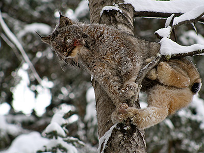 Cougar Hunt in BC